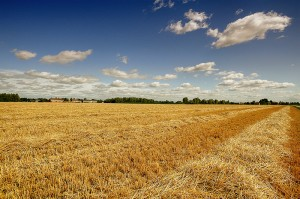 campo di grano tagliato